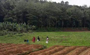 pea-field