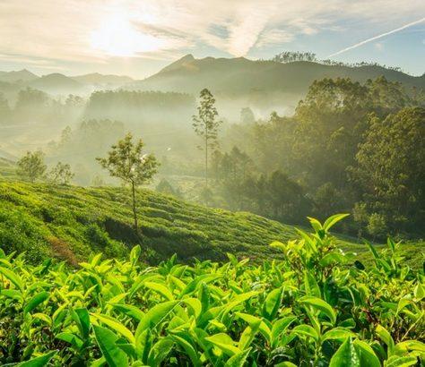 tea-plantations-munnar