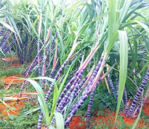 kottakkal-sugarcane