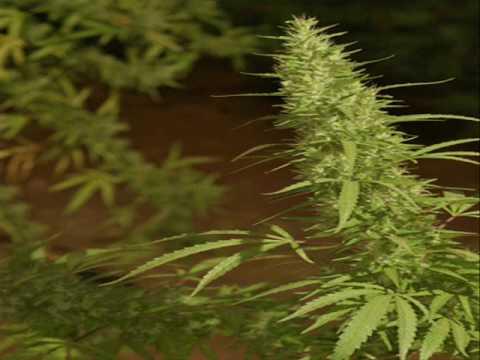 ganja-plant