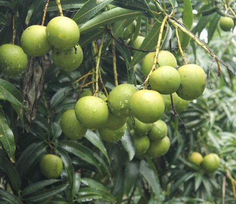 mangoes-kerala