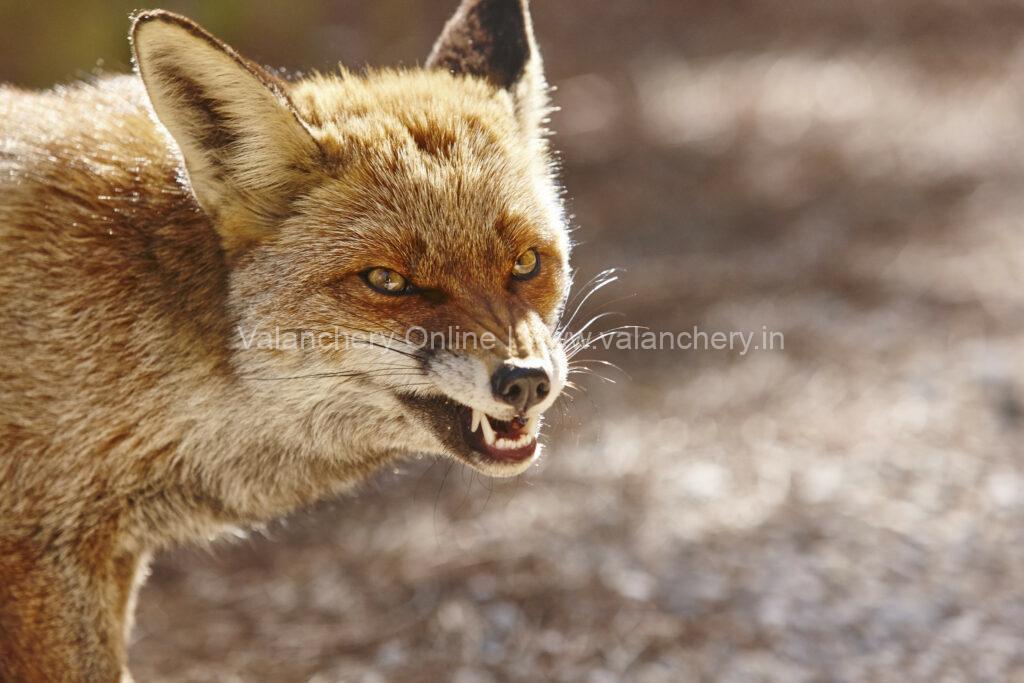 fox-bite