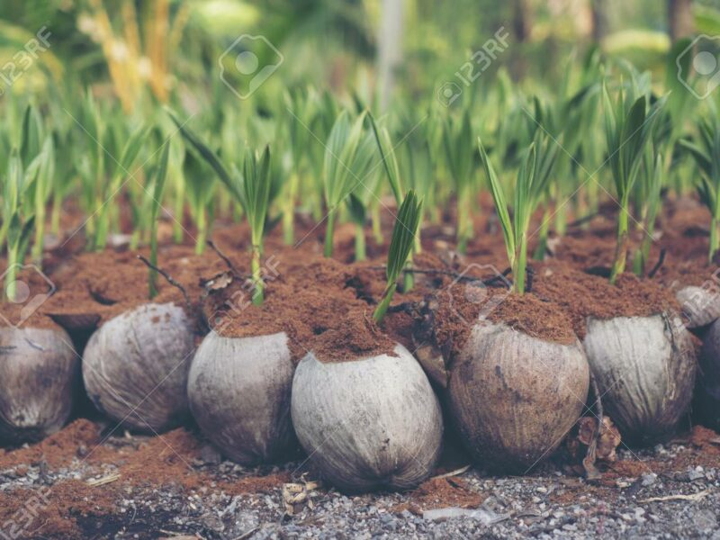 coconut-seed